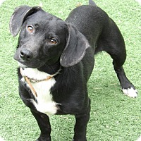 Adopt A Pet :: Bo (25 lb) Perfect Family Pet - Williamsport, MD