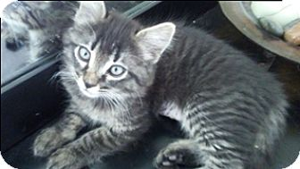Domestic Mediumhair Kitten for adoption in Scottsdale, Arizona - Frappuccino