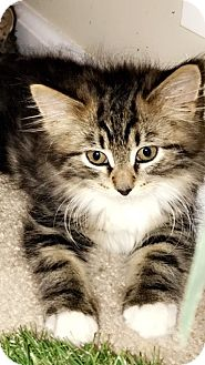 Domestic Shorthair Kitten for adoption in Randolph, New Jersey - Angelica, Angel & Apple