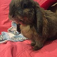 Adopt A Pet :: Lily Lop - Alexandria, VA