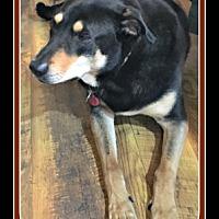 Adopt A Pet :: Torrez - Tombstone, AZ