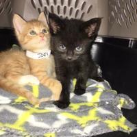 Adopt A Pet :: Joey - Coos Bay, OR