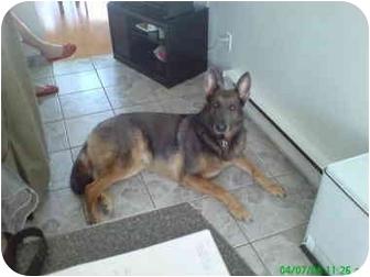 German Shepherd Dog Mix Dog for adoption in Rigaud, Quebec - Wolfie