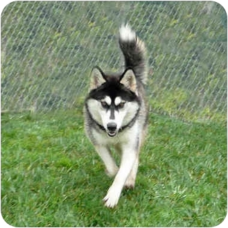 Siberian Husky Dog for adoption in San Clemente, California - DAISY