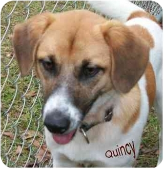 Beagle/Terrier (Unknown Type, Medium) Mix Dog for adoption in Ozark, Alabama - Quincy