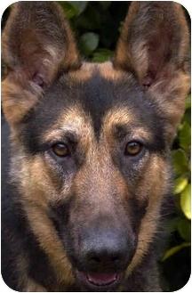 German Shepherd Dog Dog for adoption in Los Angeles, California - Meadow von Meisenstadt