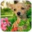 Photo 1 - Chihuahua Mix Puppy for adoption in San Clemente, California - Pan