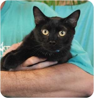 Domestic Shorthair Cat for adoption in Las Vegas, Nevada - Rio