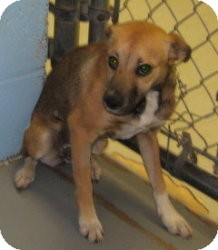 Terrier (Unknown Type, Small)/Sheltie, Shetland Sheepdog Mix Dog for adoption in Stillwater, Oklahoma - Chloris