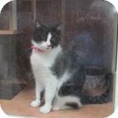 American Shorthair Cat for adoption in Phoenix, Arizona - Mozel