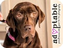 Labrador Retriever Mix Dog for adoption in Okotoks, Alberta - Katie