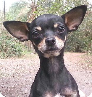 Chihuahua Mix Dog for adoption in Orlando, Florida - Lulu