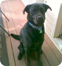 Labrador Retriever/German Shepherd Dog Mix Dog for adoption in Huntsville, Alabama - Gator
