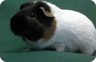 Guinea Pig for adoption in Lewisville, Texas - Spaz