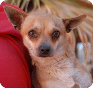 Chihuahua Mix Dog for adoption in Las Vegas, Nevada - Huckleberry