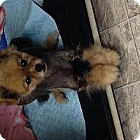 Adopt A Pet :: Miss Prizzy - Mt Gretna, PA