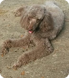 Poodle (Standard) Dog for adoption in Alpharetta, Georgia - Caspian