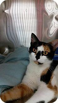 Calico Cat for adoption in Webster, Massachusetts - Kiwi