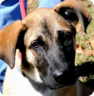 Shepherd (Unknown Type) Mix Puppy for adoption in Wakefield, Rhode Island - WYATT(GORGEOUS SHEPHERD PUPPY!