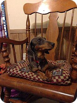 Dachshund Dog for adoption in Green Cove Springs, Florida - Joy