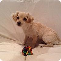 Adopt A Pet :: Felicia - Randolph, NJ