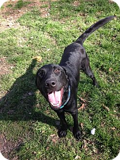 Labrador Retriever Dog for adoption in Seattle, Washington - Kobe