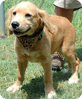 Collie/Retriever (Unknown Type) Mix Dog for adoption in Spring City, Pennsylvania - Shep
