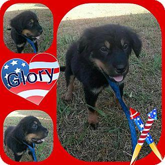 English Springer Spaniel/Australian Shepherd Mix Puppy for adoption in WAGONER, Oklahoma - Glory