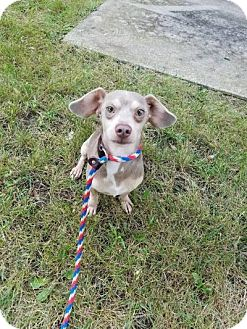 Dachshund Mix Dog for adoption in Plainfield, Illinois - Eminem