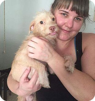 Cairn Terrier Mix Puppy for adoption in Weatherford, Texas - Milo