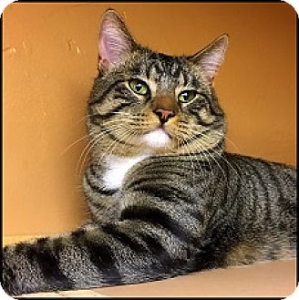 Domestic Shorthair Cat for adoption in Colorado Springs, Colorado - Leo