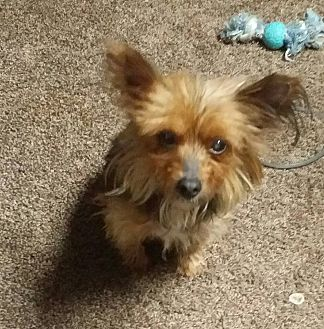 Yorkie, Yorkshire Terrier Dog for adoption in South Bend, Indiana - Emmie Lu - special needs