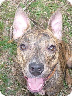 Pit Bull Terrier Mix Dog for adoption in Foristell, Missouri - Lexi