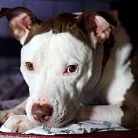 Adopt A Pet :: Arya- Aquia Garrisonville Animal Hospital - Fredericksburg, VA
