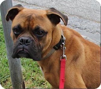 Boxer Dog for adoption in Houston, Texas - MONK
