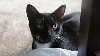 Domestic Shorthair Cat for adoption in Raleigh, North Carolina - Crystal