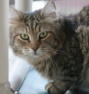 Domestic Shorthair Cat for adoption in North Fort Myers, Florida - Bailey