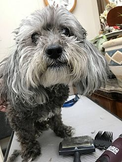 Miniature Poodle Mix Dog for adoption in Loveland, Colorado - Mr Bibbs
