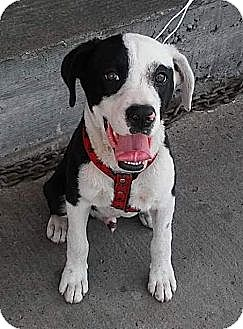 Border Collie/Labrador Retriever Mix Puppy for adoption in Cerritos, California - Captain Jack