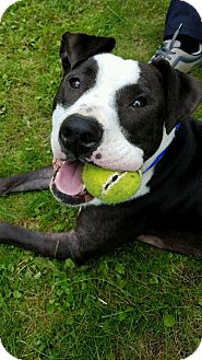 Pit Bull Terrier Mix Dog for adoption in Pittsburgh, Pennsylvania - ZAC