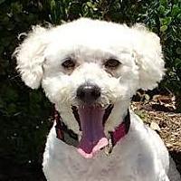 Poodle (Miniature)/Bichon Frise Mix Dog for adoption in Buena Park, California - Zoltan