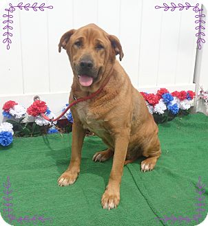 Shepherd (Unknown Type)/Shar Pei Mix Dog for adoption in Marietta, Georgia - RUBY (R)