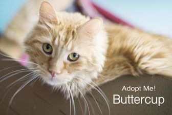 Domestic Longhair/Domestic Shorthair Mix Cat for adoption in West Des Moines, Iowa - Buttercup