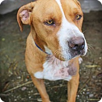 Adopt A Pet :: Roth - Spring Valley, NY