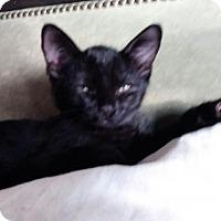 Adopt A Pet :: Ollie cute kitten - Long Beach, CA