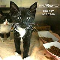 Domestic Mediumhair Kitten for adoption in Conroe, Texas - SMOKEY