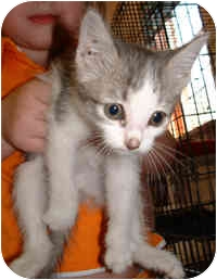 Domestic Shorthair Kitten for adoption in Honesdale, Pennsylvania - Puffin