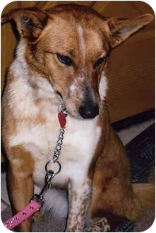 Australian Cattle Dog Dog for adoption in Owatonna, Minnesota - Hannah