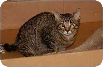 Domestic Shorthair Kitten for adoption in Englewood, Florida - Edward