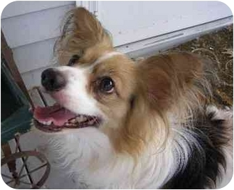 Papillon Mix Dog for adoption in Bay City, Michigan - Mario ~adopted~